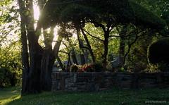 before sunset (pvh photo) Tags: smcf3580 garden wall shrubs sunset tree flowers