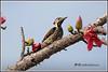 7768 - flame back woodpecker (chandrasekaran a 47 lakhs views Thanks to all) Tags: flamebackedwoodpecker birds bombaxceiba trees flowers nature india chennai canoneos6dmarkii tamronsp150600mmg2