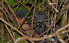 Sparrow Hawk Trap..x (Lisa@Lethen) Tags: bird sparrow hawk honeysuckle trapped nature wildlife