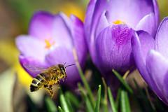 Busy bee (Pinky0173) Tags: bee bussy fleisigpollen bienen krokus canon garten thrunfotografiede