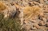 Zorrito (Takk Heima Fotografia) Tags: fox chile fotografia canon photo chileno