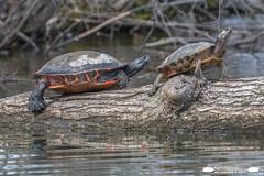 Turtle Buddies At Memorial Lake (freshairphoto) Tags: turtle pair log memorial lake state park fort indiantown gap pa artspearing nikon d500 200500 zoom handheld kayak