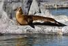 kalifornischer Seelöwe (Michael Döring) Tags: gelsenkirchen bismarck zoomerlebniswelt zoo kalifornischerseelöwe seal afs200500mm56e d7200 michaeldöring