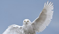 Landing (hd.niel) Tags: snowyowl landing lateseasonsnowy nature flight wildlife photography ontario wings