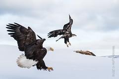 Bald Eagles, mature and immature (karenmelody) Tags: accipitridae accipitriformes alaska animal animals baldeagle bird birds haliaeetusleucocephalus kachemakbaynearhomer usa vertebrate vertebrates