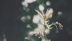 20180422-155110 - Spring Garden Bokeh (torstenbehrens) Tags: spring garden bokeh schleswigholstein deutschland olympus epm1 m42 28200mm zhongyi objektiv turbo ii efm43 wecellent m42ef adapter