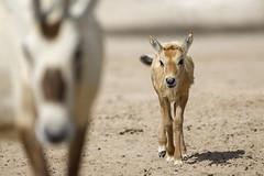 070A4413 (Cog2012) Tags: qatar oryx