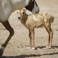070A4434 (Cog2012) Tags: qatar oryx