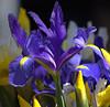 Iris Friends Of Mine (Scott 97006) Tags: iris flower bokeh gorgeous beauty nature floral colors blue pieple yellow