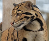clouded leopard Ouwehand BB2A3210 (j.a.kok) Tags: panter panther luipaard leopard nevelpanter neofelisnebulosa cloudedleopard kat cat animal ouwehands mammal zoogdier dier azie asia