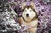 Douceur d'hiver (Magic Dogs Photography - Elisa Pirat) Tags: husky chien canin fleurs neige nature bretagne hiver sibérien pose attitude bleu glacé