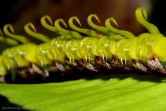 Bulbophyllum renkinianum (LukusuziRiver) Tags: orchid bulbophyllum