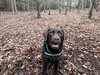 Attentive for the Stick (Pyrolytic Carbon) Tags: hudson hudsonbrunton labrador chocolatelabrador mobile trees leaves
