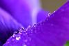 drops (luporosso) Tags: natura nature naturaleza naturalmente fiori fiore flowers flower flor fleur gocce gotas drops raindrops rain