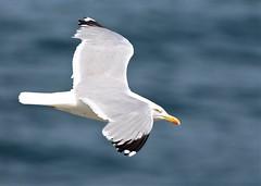 IMG_7766 (KevBar2000) Tags: herring gull flight bird sea coast