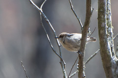 Brown-headed Nuthatch, Lake Conestee, SC (hmthelords) Tags: lakeconestee
