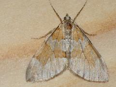 Thera obeliscata - Grey pine carpet (Cossus) Tags: geometridae larentiinae thera пяденица 2009 пестово