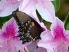 Spicebush Swallowtail (M.P.N.texan) Tags: azalea bush shrub pink flower flowers flowering bloom blooms blooming garden butterfly spicebushswallowtail swallowtail insect texas native