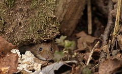 peeper (westoncfoto) Tags: bankvole clumberpark