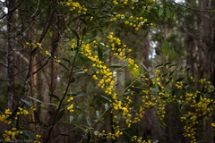 Acacia complanata (dustaway) Tags: fabaceae mimosoideae acacia acaciacomplanata flatstemmedwattle australianshrubs australianplants australianflora australianflowers doubledukestateforest bungawalbinforest bungawalbincatchment richmondvalley northernrivers nature nsw australia