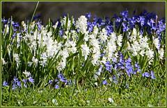 Blausternchen und Weißsternchen ... einen schönen Sonntag ... (Kindergartenkinder) Tags: grugapark essen gruga kindergartenkinder blausternchen weissternchen blume