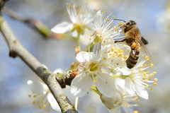 Bee-autiful (simon.stoelben) Tags: bees insects insecta animals animalia natur nature frühling spring flowers wildlife march märz sunny sonnig blüten blossoms tree