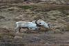 FIN_2261 (dominique.leymarie) Tags: caribou cervidae pearycaribou rangifertarandus reindeer renne cervidé mammifère