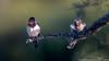 Hirondelles rustiques (gilbert.calatayud) Tags: barnswallow hirondellerustique hirundinidés hirundorustica passériformes bird oiseau la couarde ile de ré charente maritime