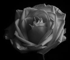 Light And Shadows In A White Rose in Black And White (Bill Gracey 21 Million Views) Tags: rose rosa fleur flower flor offcameraflash sidelighting softbox homestudio blackbackground noiretblanc blancoynegro blackandwhite bw silverefexpro shapes shadows textures filllight yongnuo yongnuorf603n lakeside