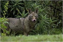 urban coyote (Christian Hunold) Tags: coyote canislatrans urbancoyote sanfrancisco goldengatepark christianhunold