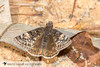 Juvenal's Duskywing (Erynnis juvenalis) 20180312_3437.jpg (Abbott Nature Photography) Tags: neoptera skippers organismseukaryotes lepidopterabutterfliesmoths butterfly endopterygota pterygota animals hesperiidaeskippers hexapoda arthropodaarthropods invertebratainvertebrates insectainsects papilionoidea andalusia alabama unitedstates us
