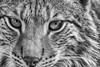Lynx (grasso.gino) Tags: tiere animals natur nature katze cat luchs lynx wildpark granat nahaufnahme closeup schwarzweis monochrome nikon d5200