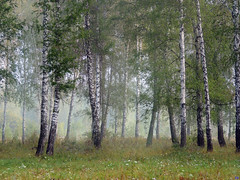 Morning in a birch grove (arthurverigin) Tags: birch forest fog russia siberia morning mist grove landscape ubravnets tree
