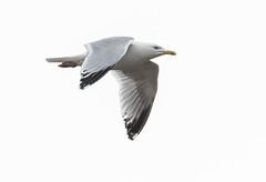 St Marys Herring gull flying