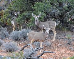 Canyonlands Island in the Sky Mule Deer 02-22-2018 (Jerry's Wild Life) Tags: canyonlands canyonlandsmuledeer canyonlandsnationalpark islandinthesky moab muledeer utah