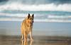 Surf Hound (Alan Habbick Photography.) Tags: beach beachanddogphotography mistralbeach cornwallbeach germanshepherd alsatian