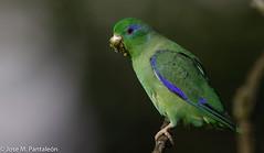 4- Una especie con un gran dimorfismo sexual entre ambos sexos. La hembra carece completamente de color azul y el macho tiene un anillo azul alrededor de los ojos y plumas azules en las alas y en la rabadilla. (Cimarrón Mayor 14,000.000. VISITAS GRACIAS) Tags: ordenpsittaciformes familiapsittacidae géneroforpus cotorritadeanteojos periquitosdeanteojos periquitoojiazul macho nombrecientificoforpusconspicillatusconspicillatus nombreinglesspectacledparrotlet male lugardecapturafincasofía montenegro quindío colombia aveenvuelo volando ave vogel bird oiseau paxaro fugl pássaro птица fågel uccello pták vták txori lintu aderyn éan madár cimarrónmayor panta pantaleón josémiguelpantaleón objetivo500mm telefoto700mm 7dmarkii canoneos canoneos7dmarkii naturaleza libertad libertee libre free fauna dominicano pájaro montañas