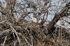 Female Bald Eagle sits on her nest