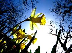 IMG_0038x (gzammarchi) Tags: italia paesaggio campagna natura montagna firenzuolafi stignano fiore narciso colore giallo riflesso inalto