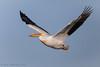 American White Pelican (Matt Shellenberg) Tags: american white pelican americanwhitepelican missouri mississippiriver matt shellenberg