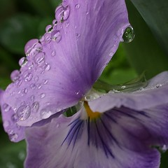weighed down - explored (quietpurplehaze07) Tags: raindrops pansy mauve macro petal
