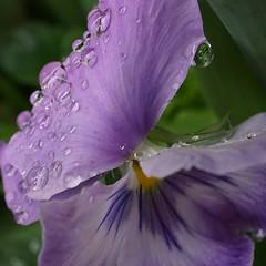 weighed down - explored (quietpurplehaze07) Tags: raindrops pansy mauve macro petal explored