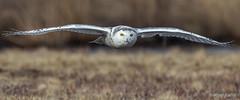 Snowy Owl (bbatley) Tags: snowy owl