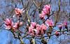 Campbell's Magnolia (Dibbly Dobbler) Tags: fuji xt20 campbells magnolia edinburghbotanicgardens