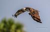 Osprey in Flight (tclaud2002) Tags: osprey bird birdofprey raptor wildlife nature mothernature outdoors animal phippspark stuart florida usa