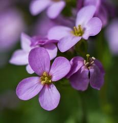 Arabis alpina. (agnieszka.a.morawska) Tags: macro bkhq beyondbokeh bokehlicious bokeh dof manuallens helios44m helios ogród wiosna garden gęsiówka kwiat spring flower