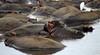 IMG_3268 (SusanKurilla) Tags: wildlife africa kenya tanzania wild safari adventure hippo mudbath water