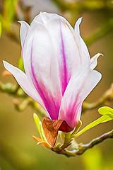 Magnolia -6- (Jan 1147) Tags: magnolia bloem bloemen bloei flower flowers blossom depinte belgium