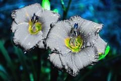 Even flowers get the blues (Patrick Whittington) Tags: theblues pentaxk70 pentax photoshopexpress flowers alabama