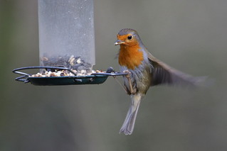 Robin using the feeders at Swanwick Lakes Nature Reserve, Hampshire, UK